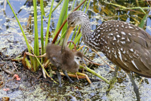 Limpkin feedng chick by Walt Hackenjos