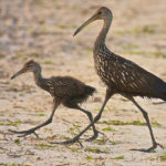 Juvenile Limpkin out for a walk with adult at Loxahatchee National Wildlife Refuge by Paul Thomas