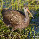 Limpkin Green Cay by Anne DuPont