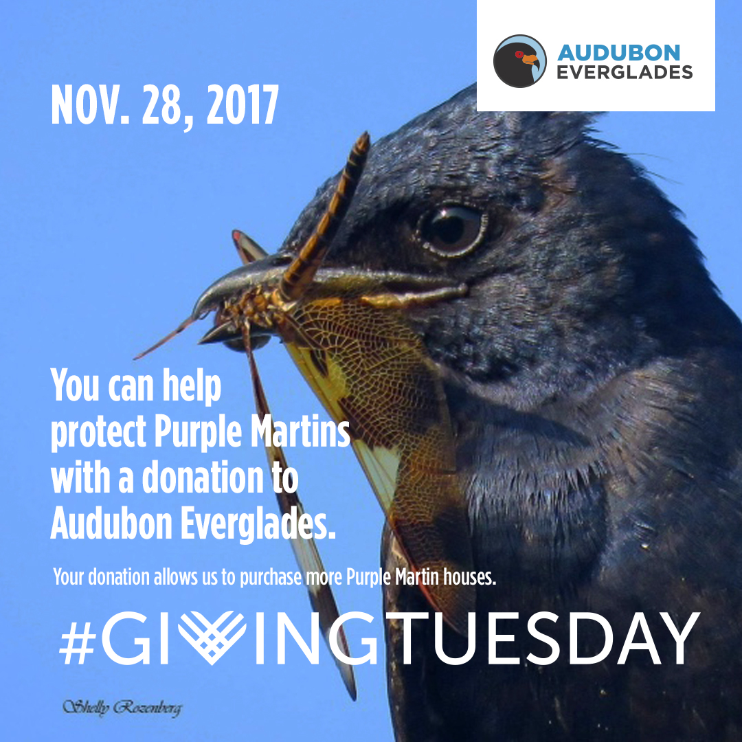 Audubon_GivingTuesday_PurpleMartin